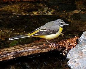 Bergeronnette des ruisseau – Source Wikipédia